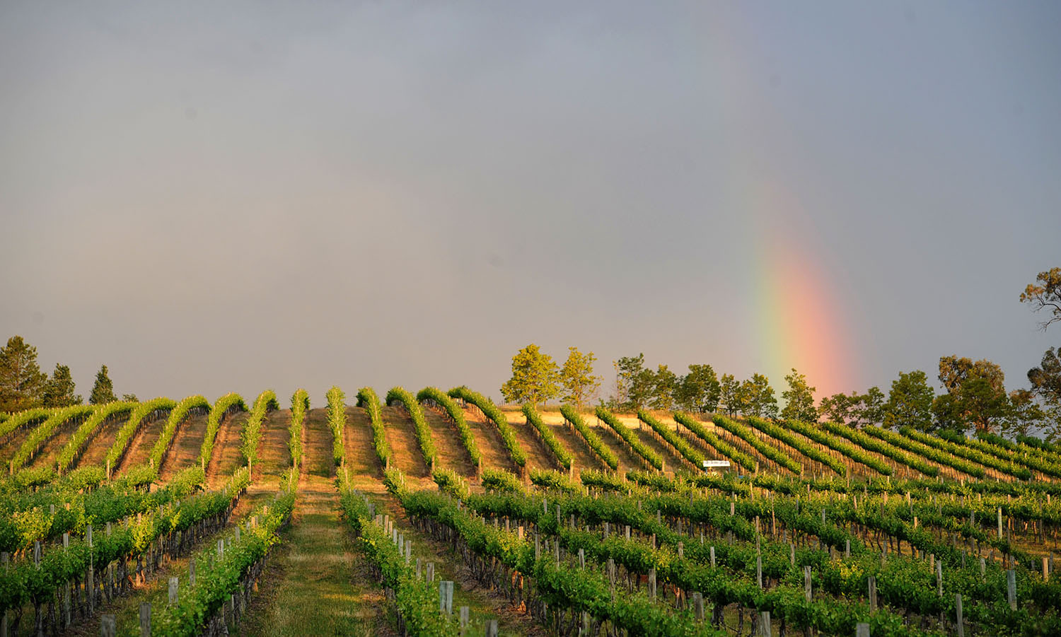 mudgee grape vines with rainbow